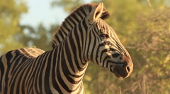 Zebra in Beautiful Golden Light SLOMO (we film with permission inside National Stock Footage