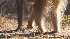 Baboon digging for Root in Africa shot in HD Super Slow Motion - stock footage