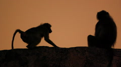 Baboons Grooming at Sunset in Africa shot in HD Super Slow Motion Stock Footage