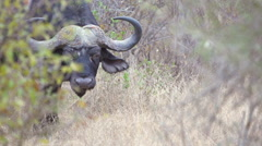 Buffalo Eating dry yellow grass in Africa shot in HD Super Slow Motion - stock footage