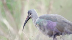 Bird Hadeda Ibis Walking in Africa shot in HD Super Slow Motion Stock Footage
