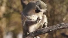 Vervet Monkey Grooming on Branch in Africa shot in HD Super Slow Motion - stock footage