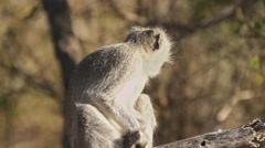 Vervet Monkey on a Branch in Africa shot in HD Super Slow Motion - stock footage