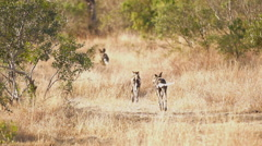Wild Dog Pack Leaving to Hunt in Africa shot in HD Super Slow Motion - stock footage