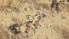 Wild Dog Yawning in Africa shot in HD Super Slow Motion Stock Footage