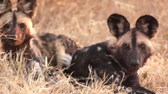 Wild Dogs Looking Alert in Africa shot in HD Super Slow Motion Stock Footage
