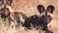 Stock Video Footage of Wild Dogs Looking Alert in Africa shot in HD Super Slow Motion
