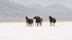 Panning view of horses running on salt flats. Stock Footage