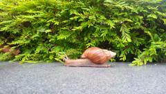Stock Video Footage of very slow moving Snail, moving across the screen