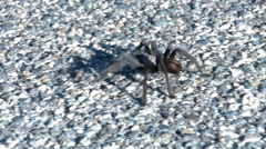 Tarantula walking on desert road - stock footage