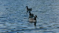 Canada Geese Swimming Stock Footage