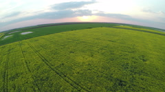 AERIAL: Brassica rapa field at sunset - stock footage