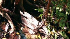 Stock Video Footage of Static shot of a large tree root in a bright, swampy area surrounded by leaves.