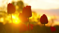 Flowers tulips on the background of a sunset - stock footage