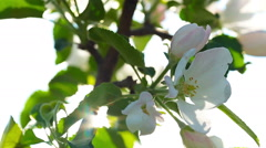 Flowers apple blossom. close-up. Stock Footage