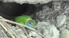 Lizard reptile lying on rock basking in sun Stock Footage