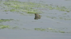 Snake River Natrix reptile head peeking out of the water on the river Stock Footage
