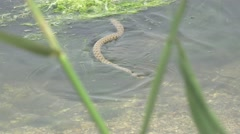 Snake River Natrix floats reptile in water on river among green algae Stock Footage