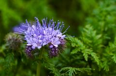 Green manure phacelia tanacetifolia flower and crop Stock Photos