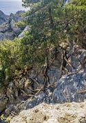 Crimea, near the village of Novy Svet . Relic juniper and pine groves , mirac - stock photo