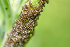 Ants and Aphids Stock Photos