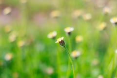 Blooming little meadow flower Stock Photos