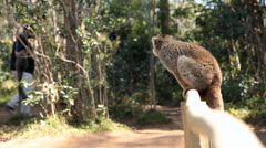 Static view of lemur sitting on wood fence as people walk by in the background. Stock Footage