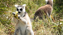 View of lemurs in the grass as one eats on a peel. Stock Footage