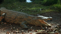 View of an alligator lying in the shade wide its mouth open. Stock Footage