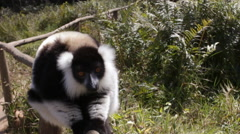 Static view of lemur sitting on wood fence looking around. Stock Footage