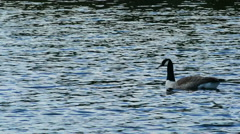 Canada Geese Swimming - stock footage