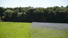 Agricultural blue cornflower field and green meadow near forest. Stock Footage