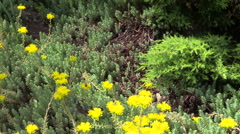 Stock Video Footage of green succulent orpin in summer garden outdoor