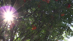 Rowan tree with ripe orange berries and sunlight penetrate Stock Footage