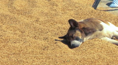 Dog sleeping in sand on top of a roof in Nepal. Stock Footage