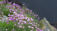 4K pink/purple clover at the edge of a cliff with sea, flies flying around Stock Footage
