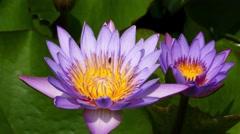 Lotus flowers closeup 4k Stock Footage