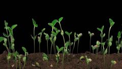 Stock Video Footage of Time-lapse of growing soybeans, RGB + ALPHA matte