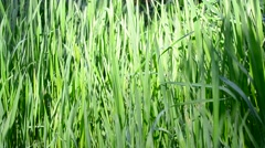 Elytrigia. Lush blades of green grass gently swaying in breeze Stock Footage