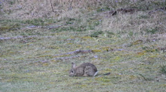 European rabbit Oryctolagus cuniculus eating grass on a field Stock Footage