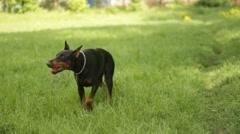 Doberman Pinscher dog Stock Footage