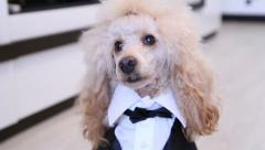 Funny Poodle Dog dressed up in a suit Stock Footage