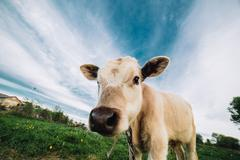 Young cow looking directly at the camera - stock photo