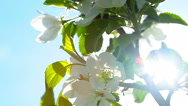 Stock Video Footage of flowers apple blossom. close-up.