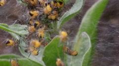 Garden Spider Spiderlings. Spider Ball. Stock Footage