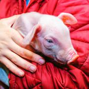 Pig in the hands Stock Photos