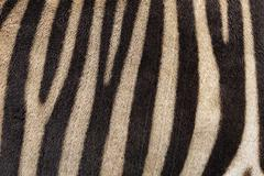 Abstract background of zebra stripes. - stock photo