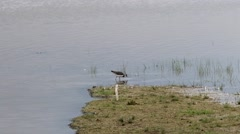 Lapwing Foraging Stock Footage