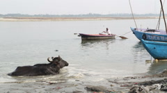 Cow in Ganges river, with man sailing in background. Stock Footage