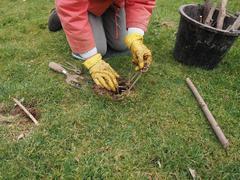 Setting a mole trap - stock photo
